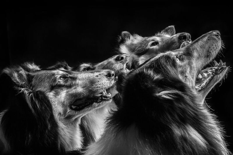 Close-up of dogs against black background