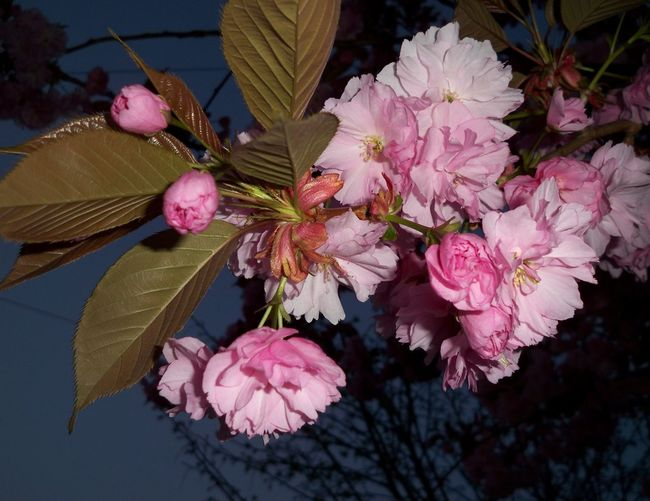 Cherry Blossom... Flower Nature Pink Color Plant Leaf Beauty In Nature Water