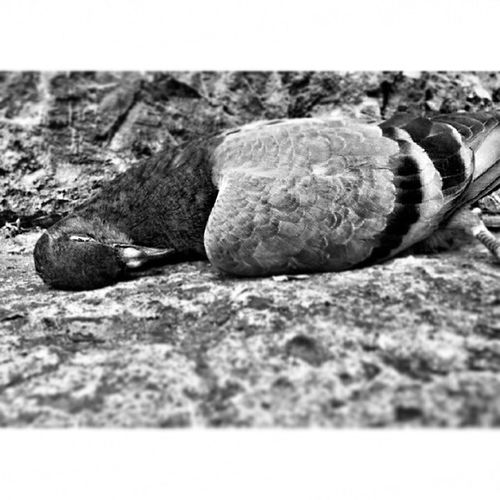 Black_whit Pic Photo Dead pigeon to_Syria peace taken by me banan__js dreams istanbul turkey حمامة حياة صور تصويري صور ميت اسود_ابيض اسطنبول تركيا الى_سوريا السلام حلم