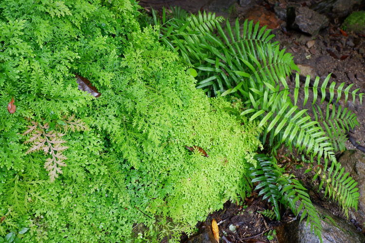 green fern on rock Road Selaginellaceae Spike Moss Beauty In Nature Day Environment Fern Field Foliage Green Color Growth High Angle View Land Leaf Lush Foliage Moss Nature No People Outdoors Plant Plant Part Selaginella Springtime Stone Tranquility Water