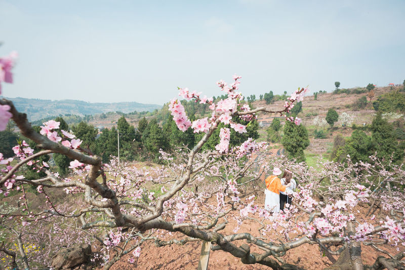 peach tree in village of Longquanyi Chengdu Plant Tree Nature Beauty In Nature Growth Flowering Plant Flower Sky Day Mountain Branch Scenics - Nature One Person Lifestyles Real People Leisure Activity Full Length Tranquil Scene Freshness Outdoors Springtime Cherry Blossom Village Village Life Village View Peach Blossom Peach Tree Peach Flowers Pink Flower Spring Spring Flowers Chengdu Longquanyi