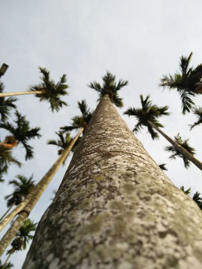 Areca Farm #infocus #zoom #stars #arecanut #westernghats #India #farm #plantation #treescape #bark #Treestory #standingtall #lines #lookup #photography #landscape #nature #photography #Nature  #beautiful #sky #NoFilter #greenlife #poles #inspiration  #vertical Tree Palm Tree Tree Trunk Sky Close-up