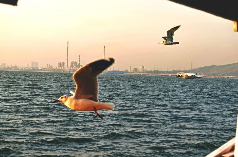 Seagulls Water Sea Mid-air Animal Wildlife Sunset Flying Animals In The Wild Outdoors Motion Bird Sea Life Nature Spread Wings Day No People Indian Indianphotography Mumbai Sky Color Freshness Beach Boat Seagull
