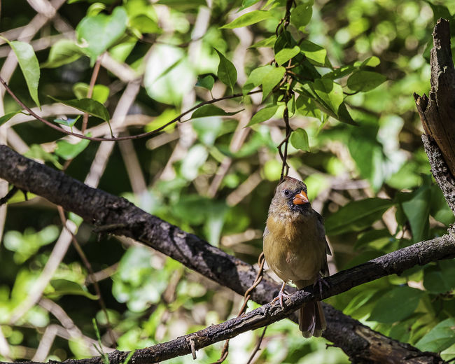 A female northern cardinal perched on a tree limb. Animals In The Wild Cardinalis Cardinalis Females Nature Northern Cardinal Animal Avian Beauty In Naure Bird Cardinalidae Colorful Crest Feather  Indiana State Bird Ornithology  Outdoors Perched Redbird Wildlfe