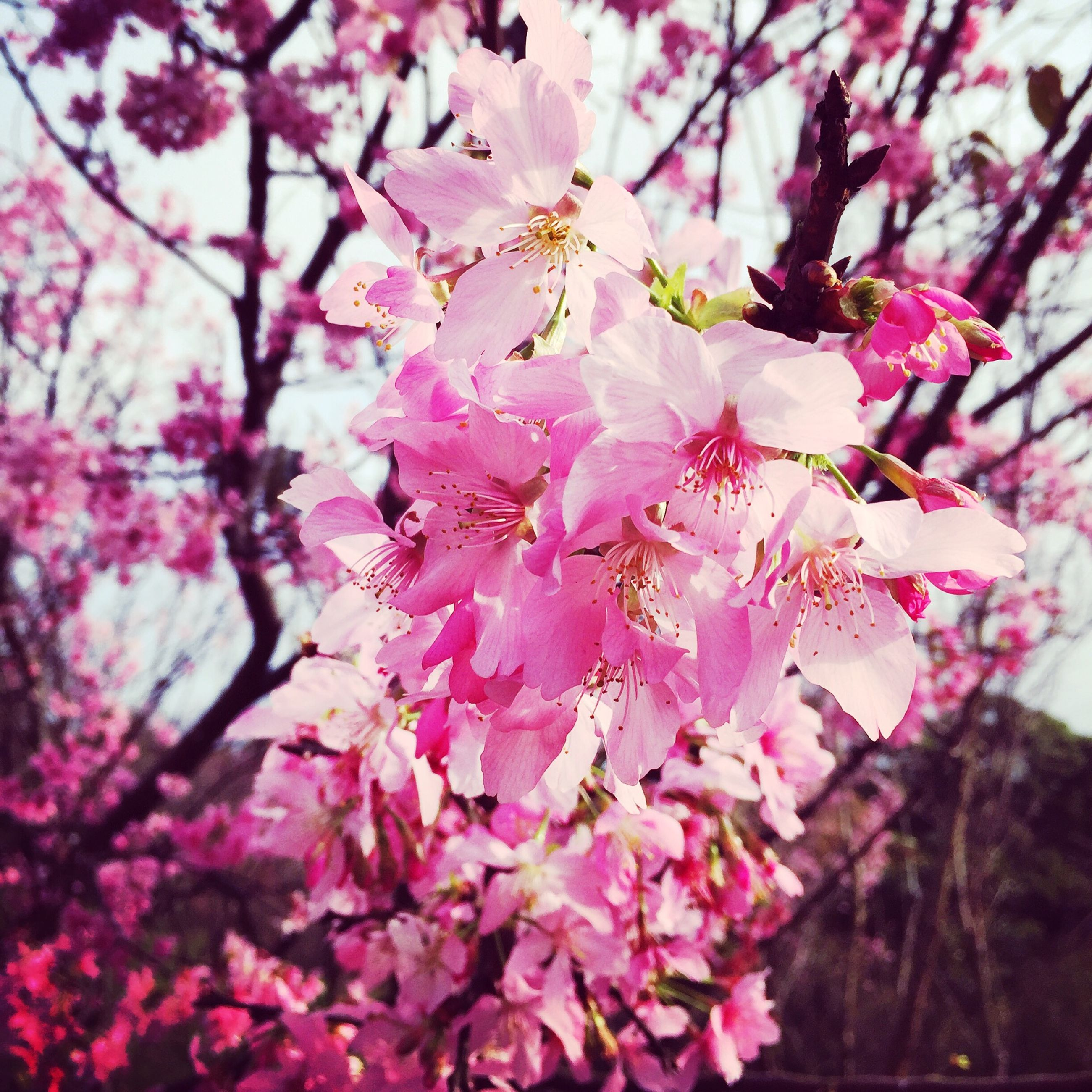 flower, freshness, pink color, growth, fragility, branch, tree, beauty in nature, cherry blossom, nature, blossom, cherry tree, petal, blooming, in bloom, focus on foreground, close-up, springtime, low angle view, pink
