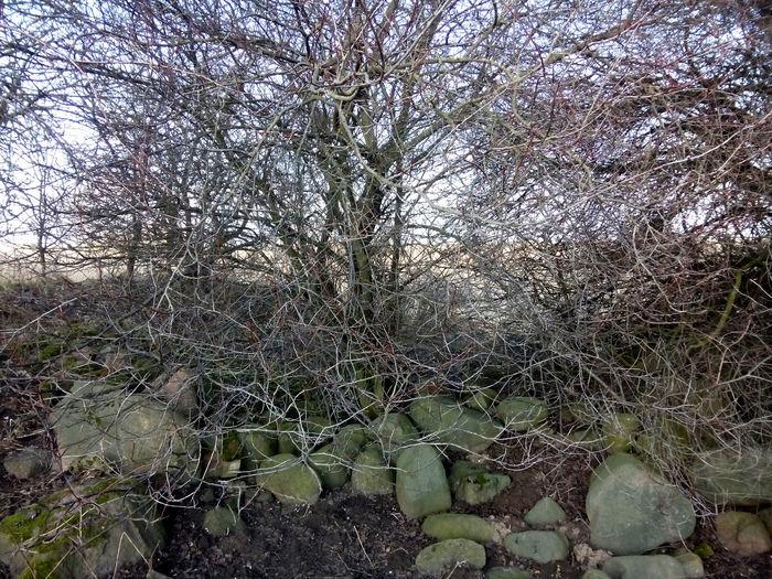 field stones Bare Tree Branch Feldsteine Field Stone Field Stones Landscape Rocks Stones Under Bushes Uckermark Winter