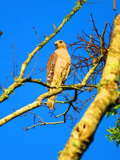 Earily morning wild hawk (April 30th) Florida Hawks Hawks Of Eyeem Hawk Hawk - Bird Bird Of Prey Bird Perching Tree Branch Clear Sky Blue Bare Tree Full Length