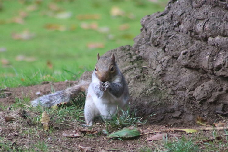 Squirrel on tree on field