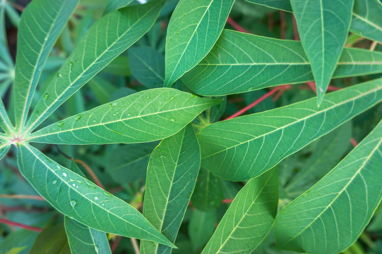 Leaves of cassava plant. Cassava rich source of food carbohydrates in the tropics after rice and maize. Agriculture Botany Cassava Farm Farmland Food Garden Grow Growth Healthy Leaf Leaves Lush Nature Plant Plantation Root Rural Texture Tropic Tropical Vegetable