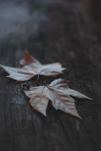 Close-up of dry maple leaves on table