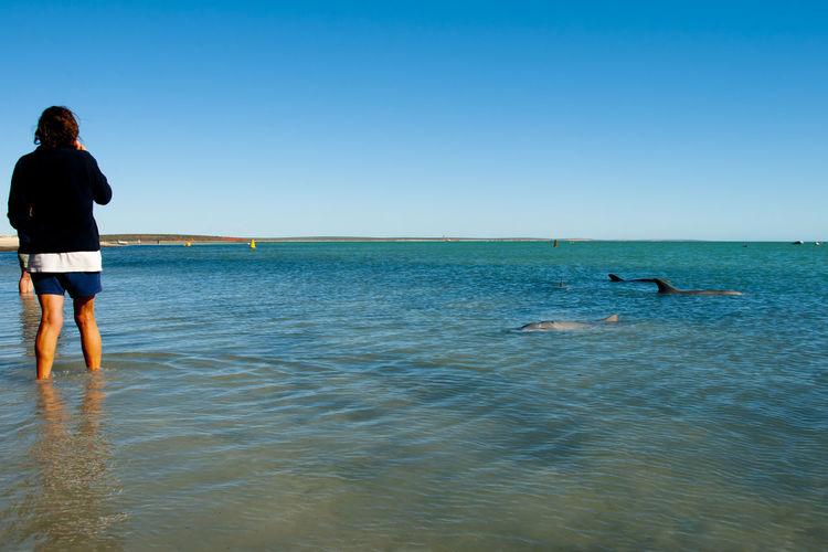 Wild Dolphins Dolphin Monkey Mia Australia Wild Indian Ocean Waterfront