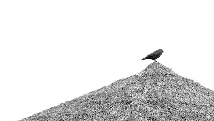 Low Angle View Of Raven Perching On Thatched Roof Against Sky
