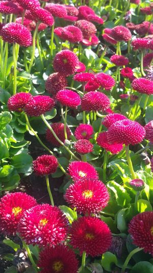 Green Color Red Nature No People Full Frame Freshness Day Growth Beauty In Nature Flower Flower Head 🌹🌞beauty Garden Flowers