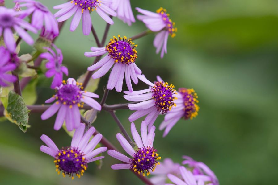 Purple flower heads Macro Flower Fragility Petal Beauty In Nature Nature Flower Head Purple Freshness Focus On Foreground Growth Plant Close-up Blooming Pink Color
