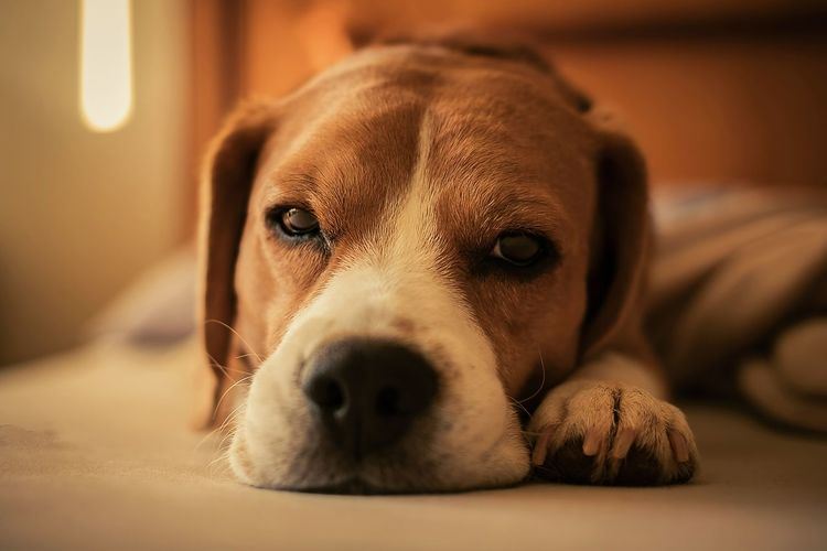 Colorpallet Colorpallete Pet AnimalTheme Pose Cute Looking Domesticanimals Canine Indoors  Friendforever Friendship PortraitPhotography Lookingatcamera Resting Tranquility 35mm Dogphotography Rest Modeldog  Monochromatic Model Réflexion Beagle Pets Portrait Dog Looking At Camera Lying Down Close-up