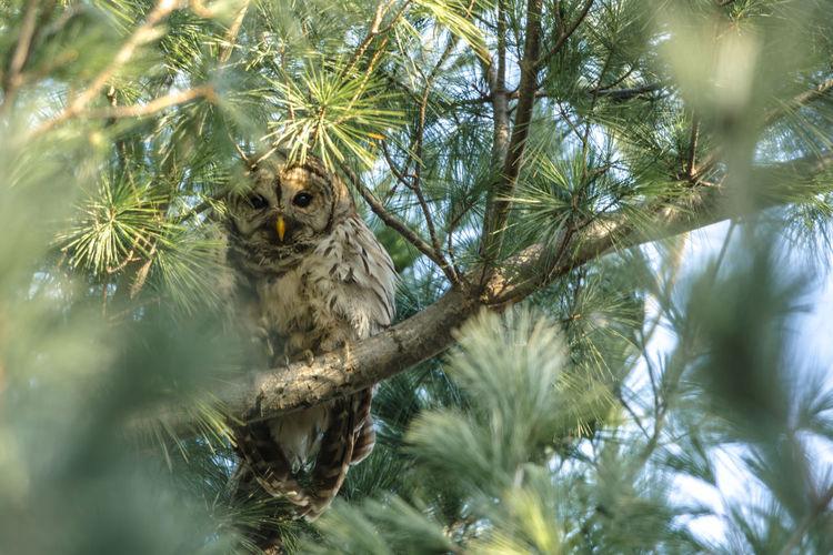 barred owl Tree