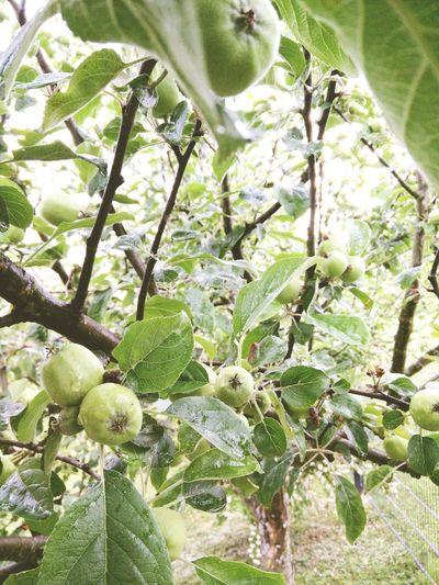 Home. Garden Apple Apple Tree Outdoors Green