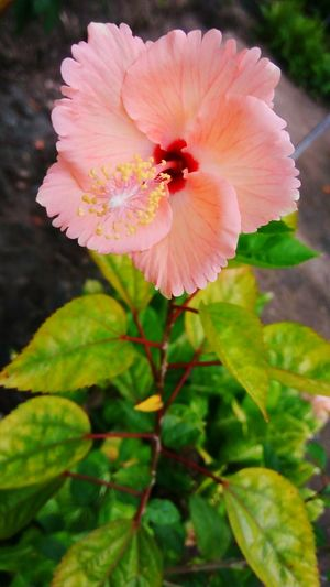Morning is when things start to bloom. Photoscenic Freshness Fragility Petal Flower Head Growth Close-up Beauty In Nature Springtime Blossom Season  In Bloom Stem Single Flower Nature Botany Focus On Foreground Pink Color Stamen Macro