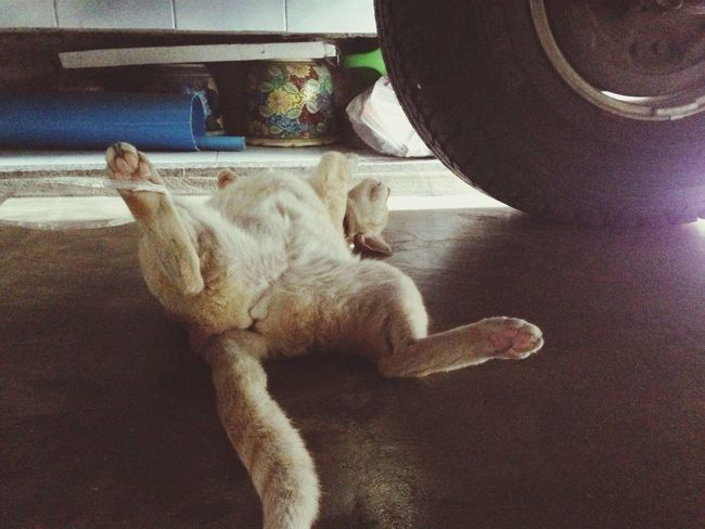 Sleep like dead Thai Street Cat Thai Cat Under The Car Day Sleep On The Floor Truck IN THE House White Cat Happy Cat Bangkok Thailand Charunsanitwong Hot Day Rainy
