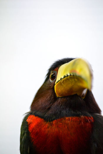 Close-up of a bird against white background