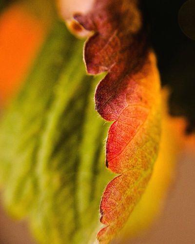 Herbst Herbststimmung Herbst In Seinen Schönsten Farben Autumn Leaves Autumn Makro Photography Macro_collection Macro Photography Macro Nature Macro_flower