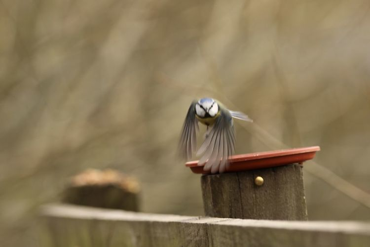 Close-up of bluetit flying over wooden post