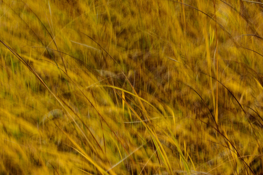 Blurred Motion Cereal Plant Fall Colors Field Grass Grass Area Grass Movement Grasslands Growth Movement Nature Outdoors Plant Wind Wind Motion Wind Movement Windy Day Yellow