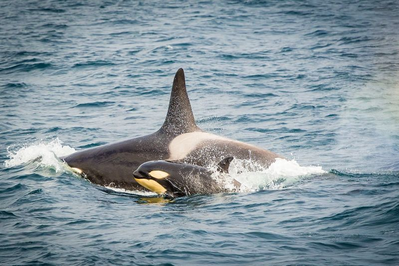 Killer whales swimming in sea
