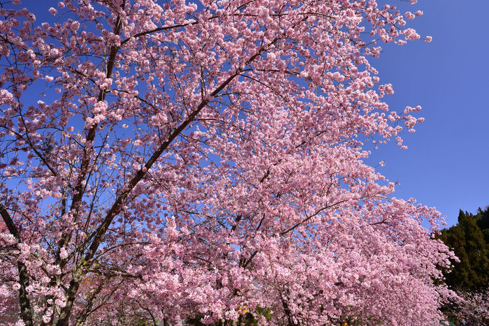 Pretty pink cherry tree Cherry Blossoms Flowering Beauty In Nature Blossom Branch Close-up Day Flower Fragility Freshness Growth Low Angle View Nature No People Outdoors Pink Cherry Blossoms Pink Color Pink Flower Pretty Sky Springtime Tree