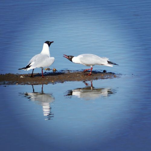 Gull Blackheaded Gull Water_collection Water Reflection Reflected Glory Reflections Wetlands Birdwatching Birds Ripples In The Water Days Out