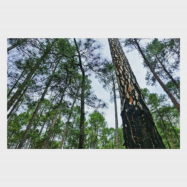 Talkingwithtrees Pineforest Talltrees Amazinghimachal Kasoldiaries The Great Outdoors With Adobe