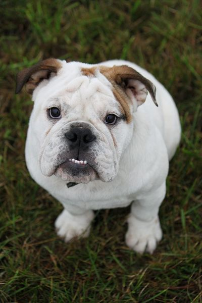 english bulldog is sitting in the garden Bulldog English Bulldog EnglishBulldog EyeEm Pets Portraits Sitting Animal Themes Close-up Day Dog Domestic Animals Focus On Foreground Garden Grass Looking Up Mammal No People One Animal Outdoors Park Pets Portrait