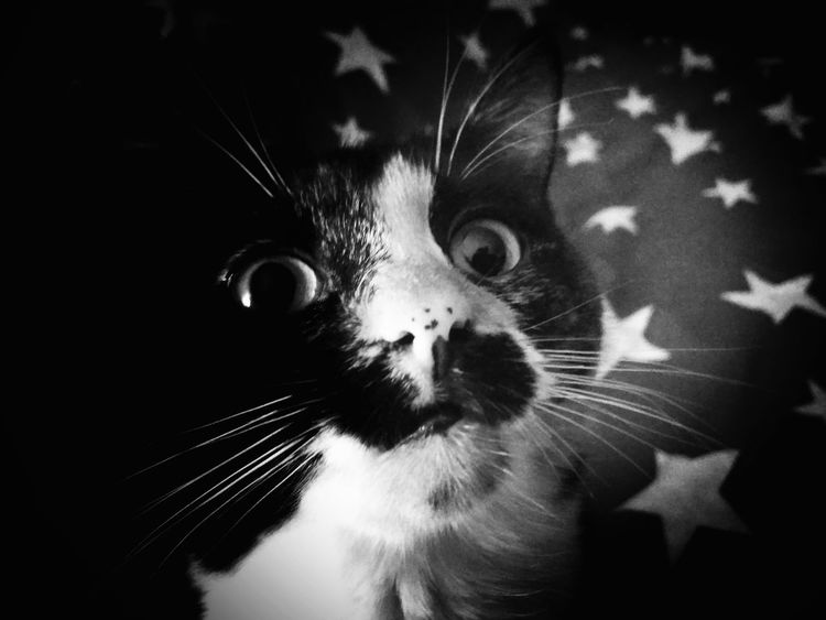 BELLE Domestic Cat Animal Themes One Animal Pets Domestic Animals Whisker Animal Head  Close-up Feline Looking At Camera Cat Indoors  No People Mammal Animal Eye Black And White Black & White EyeEm Best Edits Black Background Blackandwhite