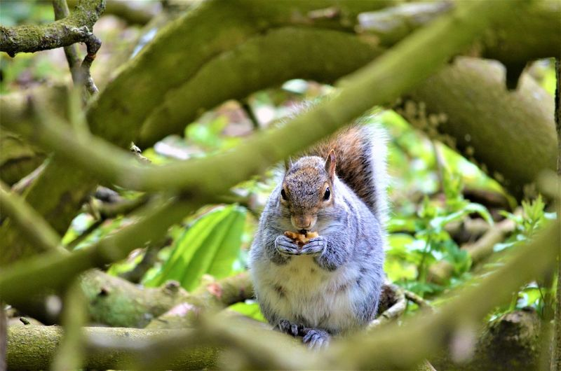 Animal Themes Animal One Animal Mammal Animal Wildlife Animals In The Wild Tree Vertebrate Plant Selective Focus Rodent Branch No People Nature Squirrel Green Color Day Land Outdoors Portrait Whisker Herbivorous