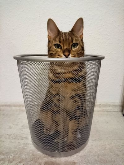 Self-confidence Animal Pets Small One Animal Animal Themes Portrait Nature Indoors  Cat Bengal Cat Bengal Self-Confidence Trash Trashcan Meow