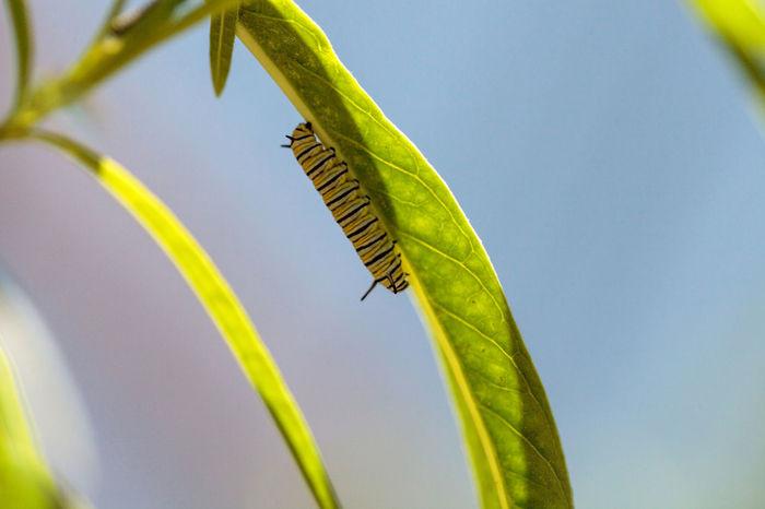 Monarch caterpillar, Danaus plexippus, in a butterfly garden on a flower in spring in Southern California, USA Caterpillar Danaus Plexippus Garden Garden Photography Insect Monarch Monarch Butterfly Monarch Caterpillar Nature Plant Striped Caterpillar
