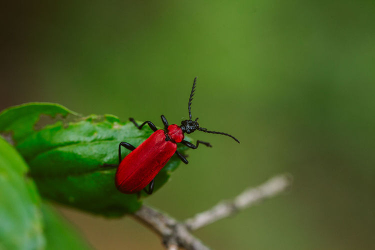 Red insect on green background Invertebrate Insect Animal Themes Animal Wildlife Animal Animals In The Wild One Animal Green Color Close-up Selective Focus Focus On Foreground Zoology Nature Outdoors Red Macro Photography Macro_collection EyeEm Nature Lover