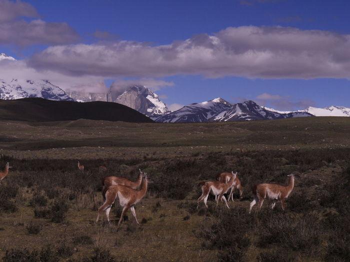 Alpacas on field against sky. chile, torres del paine national park