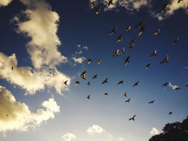 Birds flying high Animals In The Wild Flying Bird Large Group Of Animals Cloud - Sky Flock Of Birds Nature Outdoors Up In The Clouds Up In The Sky Up In The Air Cloudporn Clouds And Sky Cloud Beauty In Nature Sunset Togetherness Silhouette Spread Wings Nature VSCO Flock Of Birds Park The Great Outdoors - 2017 EyeEm Awards Lost In The Landscape Perspectives On Nature