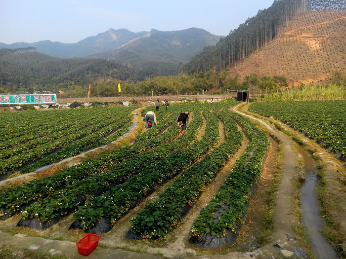 STRAWBERRY FARMS IN HUIZHOU Cool Weather Fun Fun Times Grass Green Color Nature Scenery Scenic View Strawberry Fields Strawberry Picking Strawberrys The Photojournalist - 2016 EyeEm Awards The Street Photographer - 2016 EyeEm Awards The Great Outdoors With Adobe Feel The Journey