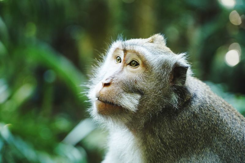 Portrait of a wild long-tailed macaque, monkey, in the rainforest of bali, indonesia.