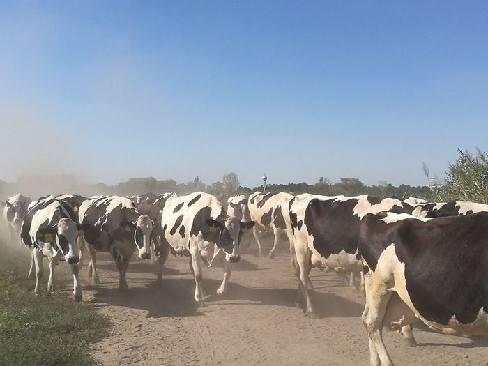 Cows Walking On Field Against Clear Blue Sky