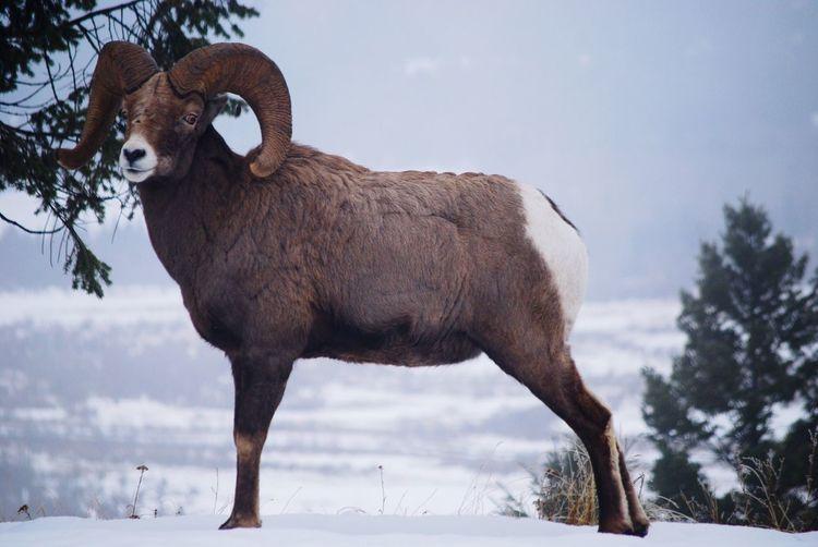 Big Ram Posing