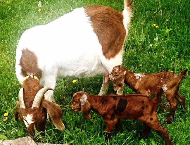Capture The Moment Hello World Enjoying Life Check This Out Taking Photos Goats
