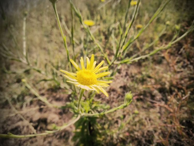 Flower Nature Growth Fragility Plant Yellow Close-up Outdoors Flower Head Wildflower Day Beauty In Nature Uncultivated Freshness No People Wood Branch Micromaxography Backgrounds Architecture Beach NiceShot Focus On Foreground Grass Rural Scene Beauty In Nature