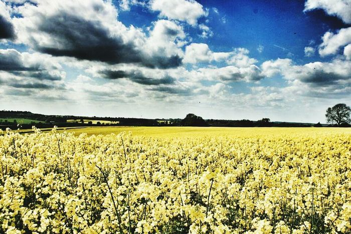 Agriculture Farm Crop  Field Cloud - Sky Rural Scene Sky Growth Cereal Plant Nature Yellow No People Outdoors Scenics Landscape Day