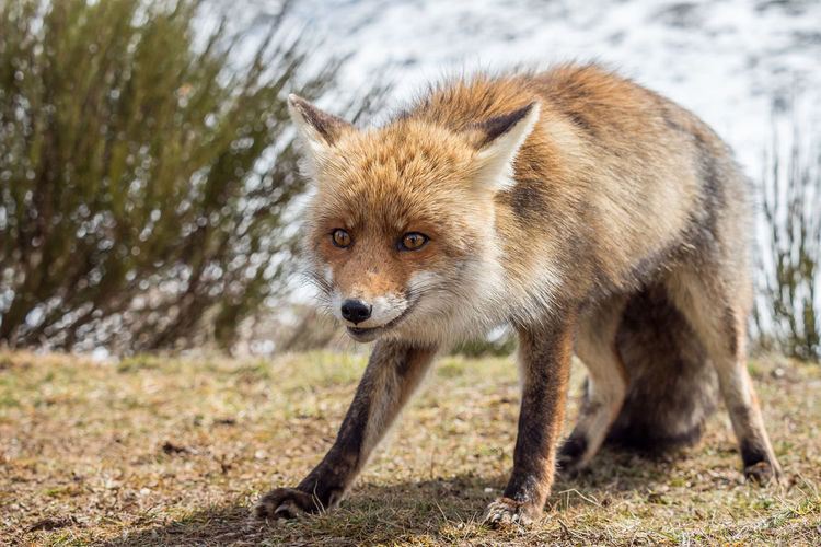 Red fox (Vulpes Vulpes) Animals In The Wild Cute Pets Wildlife & Nature Wildlife Photography Animal Animal Photography Animal Themes Animal Wildlife Animals Animals In The Wild Close-up Cute Fauna Fox Foxy Furry Mammal Nature One Animal Outdoors Portrait Vulpes Vulpes Wild Wilderness Wildlife