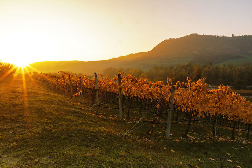 Sunset on the vineyards Agriculture Autumn Autumn Colors Autumn Leaves Beauty In Nature Bologna Col Sole In Fronte Field Italy Landscape Nature Outdoors Starsun Sun Sun Star Sunlight Sunset Tranquil Scene Vineyard Vineyards  Vineyards In Autumn Yellow Leaves