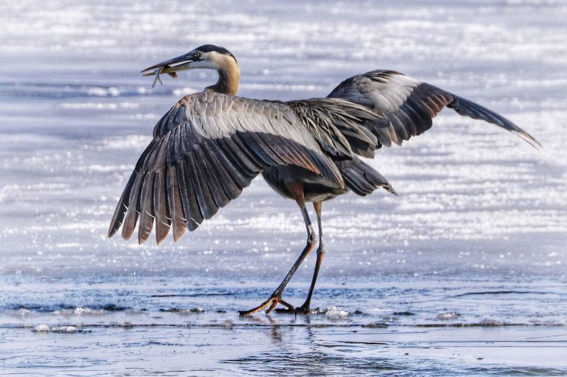 Blue Heron with