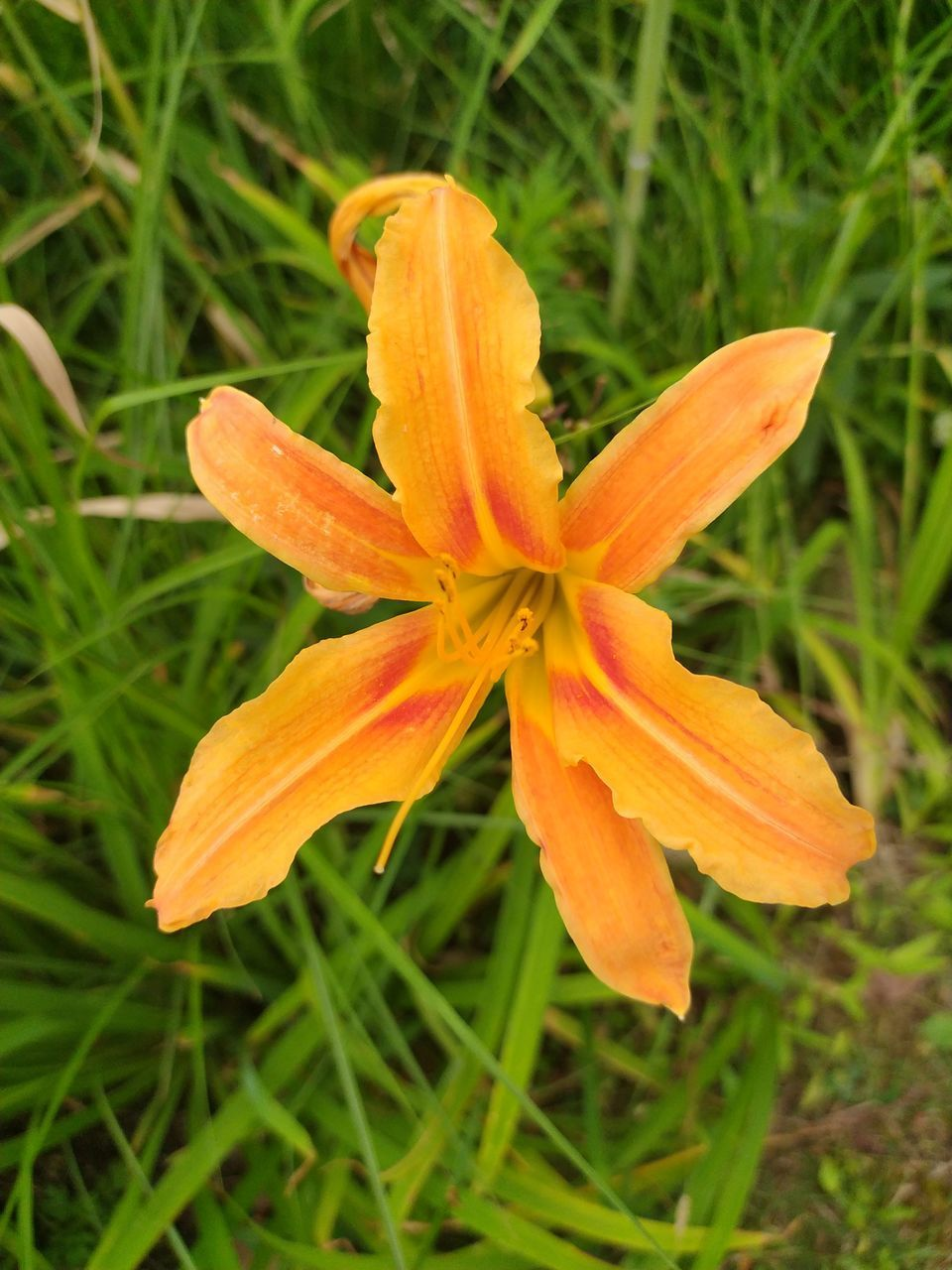 CLOSE-UP OF ORANGE DAY LILY ON PLANT